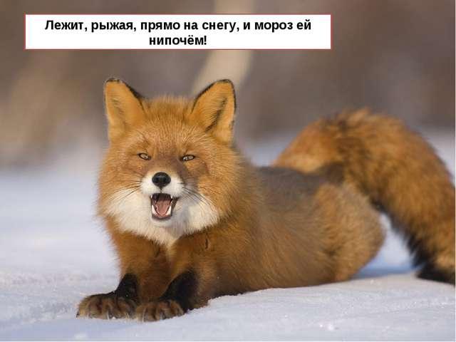Лежит, рыжая, прямо на снегу, и мороз ей нипочём!