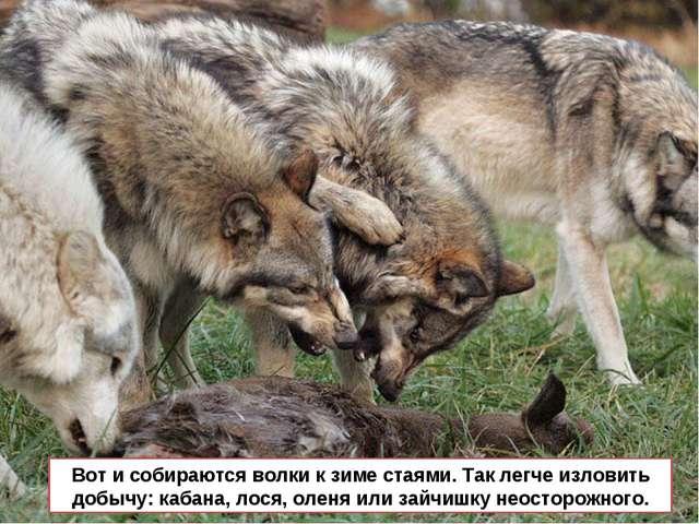 Вот и собираются волки к зиме стаями. Так легче изловить добычу: кабана, лося...