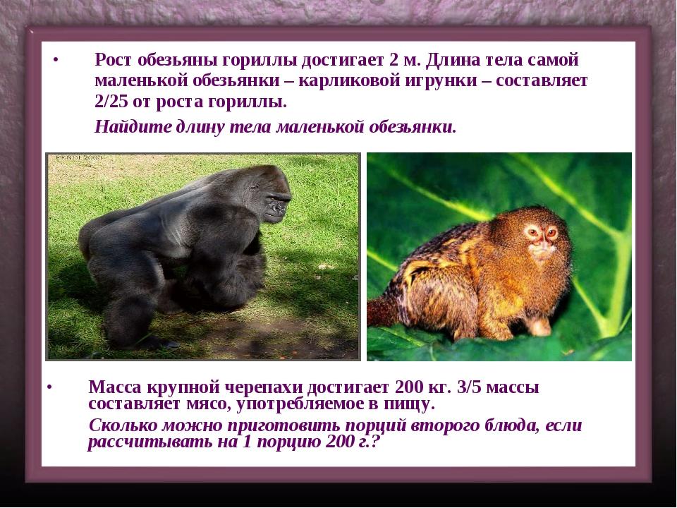Рост обезьяны гориллы достигает 2 м. Длина тела самой маленькой обезьянки – к...