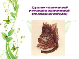 Трутовик лиственничный (Фомитопсис лекарственный, или лиственничная губка)