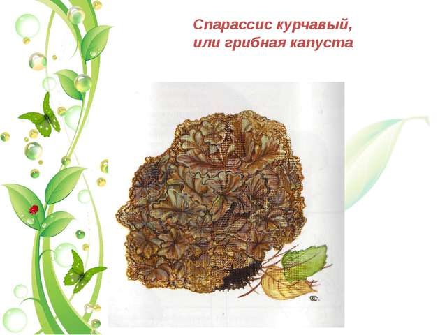 Спарассис курчавый, или грибная капуста