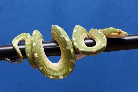 http://stuartmarquis.co.uk/menu/components/com_joomgallery/img_originals/collection_8/green_tree_pythons_1/green_tree_python_20090411_1507911889.jpg