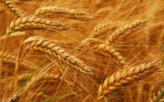 http://www.u-lekar.ru/img/photoblog/082010/wheat11.jpg