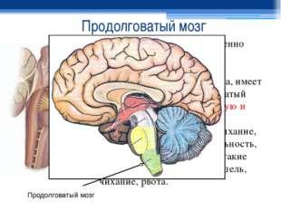 Продолговатый мозг Продолговатый мозг - жизненно важный отдел ЦНС, представля