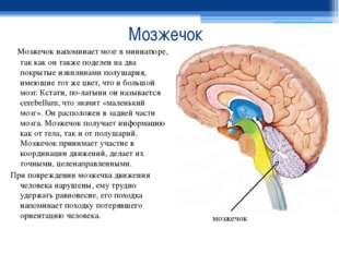 Мозжечок Мозжечок напоминает мозг в миниатюре, так как он также поделен на дв