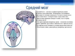 Средний мозг Средний мозг – участвует в рефлекторной регуляции различного род