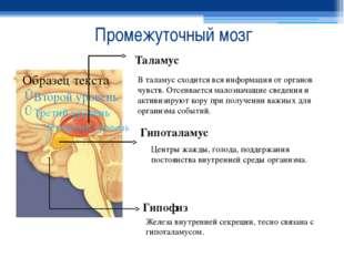 Промежуточный мозг Таламус В таламус сходится вся информация от органов чувст