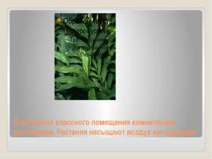 Озеленение классного помещения комнатными растениями. Растения насыщают возду