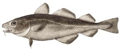 http://www.fiord-fish.ru/content/image/Treska.jpg
