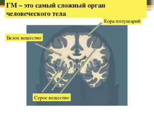 Кора полушарий ГМ – это самый сложный орган человеческого тела Белое веществ