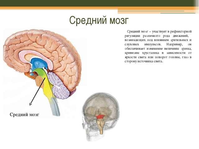 Средний мозг Средний мозг – участвует в рефлекторной регуляции различного род...