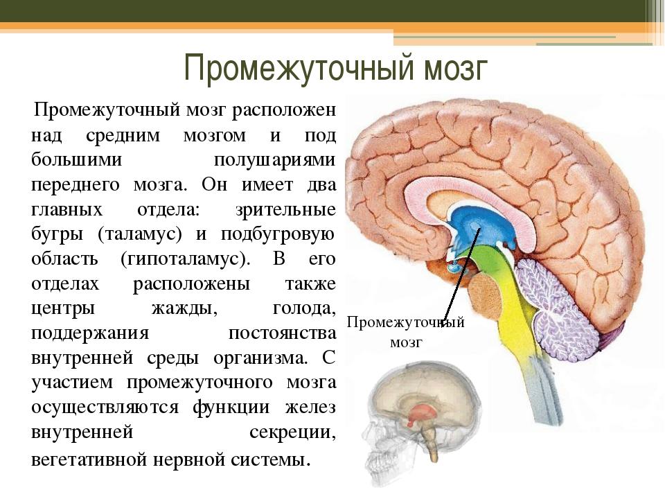 Промежуточный мозг Промежуточный мозг расположен над средним мозгом и под бол...