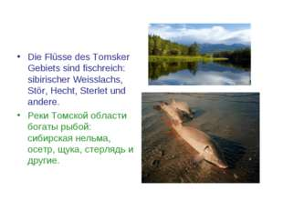 Die Flüsse des Tomsker Gebiets sind fischreich: sibirischer Weisslachs, Stör,