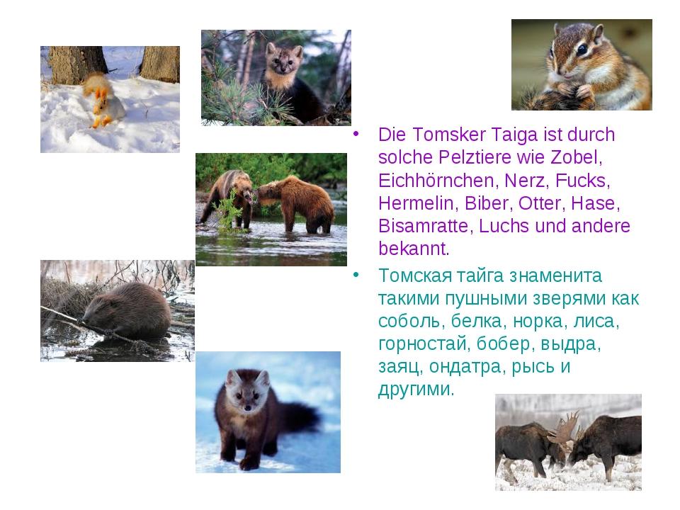 Die Tomsker Taiga ist durch solche Pelztiere wie Zobel, Eichhörnchen, Nerz, F...