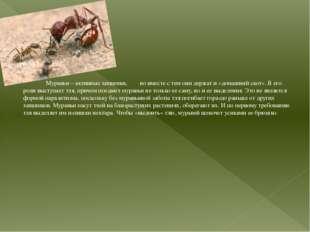 Муравьи – активные хищники, но вместе с тем они держат и «домашний скот». В