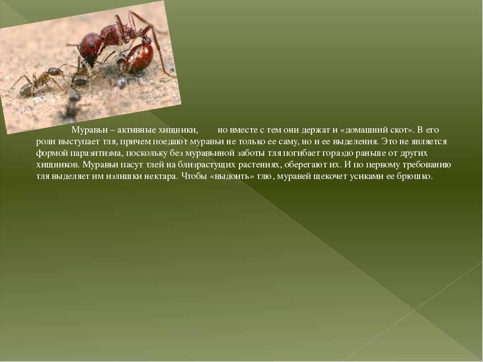 Муравьи – активные хищники, но вместе с тем они держат и «домашний скот». В...