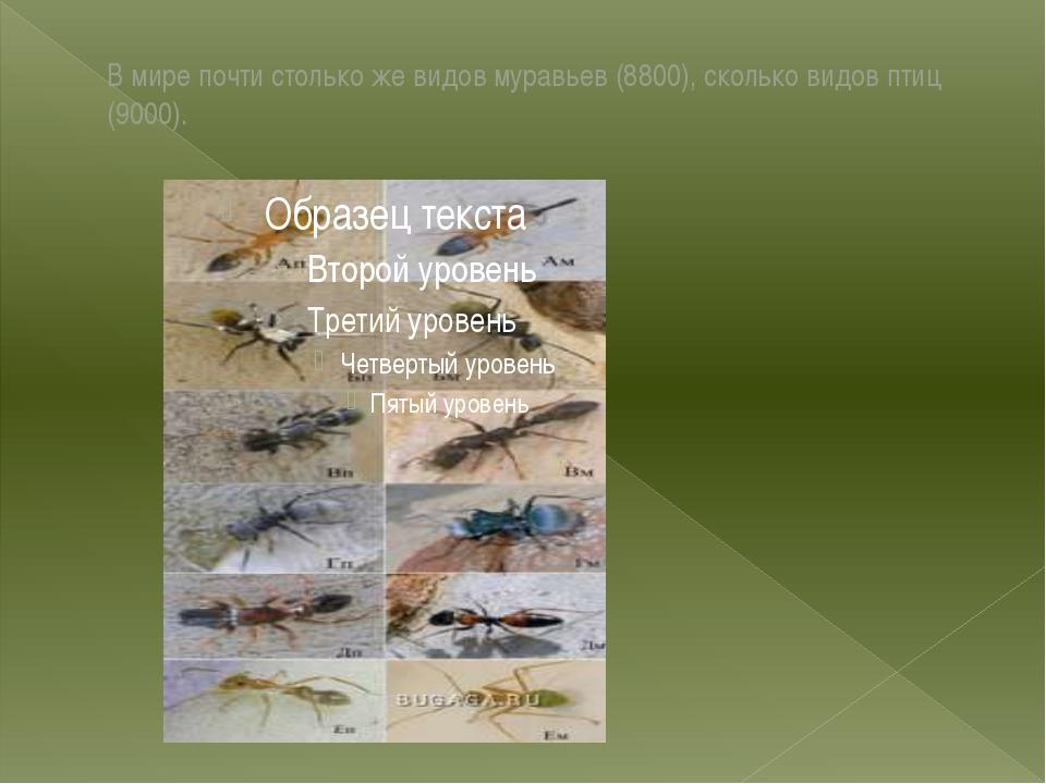 В мире почти столько же видов муравьев (8800), сколько видов птиц (9000).