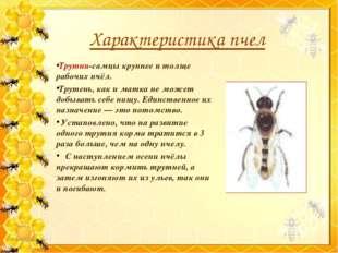 Трутни-самцы крупнее и толще рабочих пчёл. Трутень, как и матка не может добы