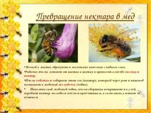 Превращение нектара в мед Весной в цветах образуются маленькие капельки сладк