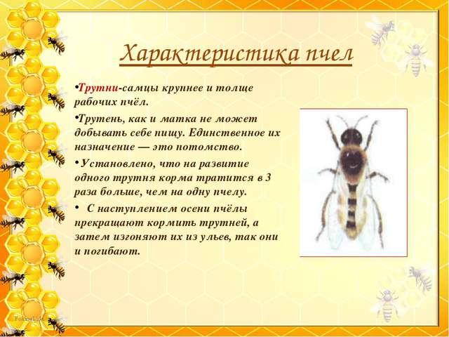 Трутни-самцы крупнее и толще рабочих пчёл. Трутень, как и матка не может добы...