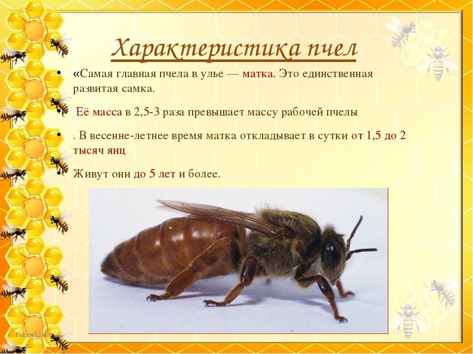 Характеристика пчел «Самая главная пчела в улье — матка. Это единственная раз...