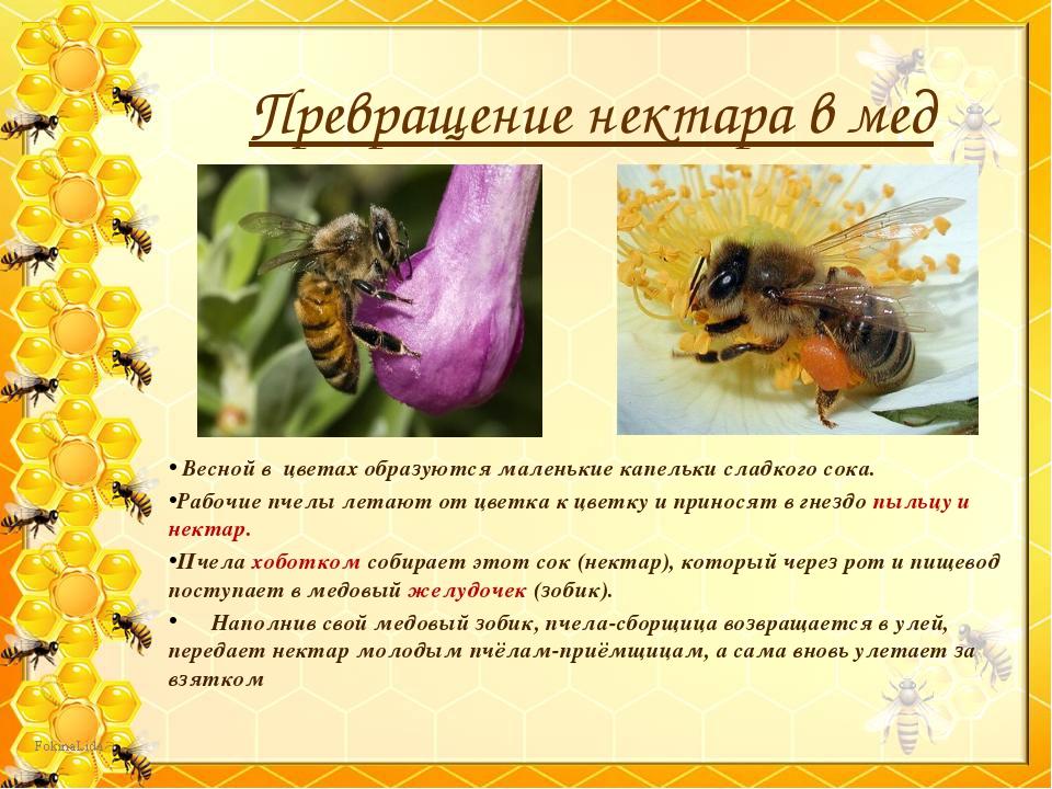 Превращение нектара в мед Весной в цветах образуются маленькие капельки сладк...