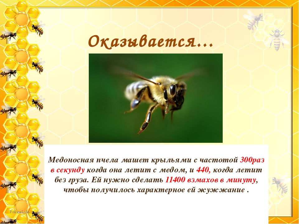 Медоносная пчела машет крыльями с частотой 300раз в секунду когда она летит...