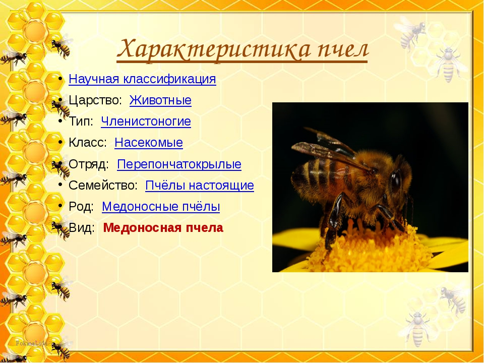 Характеристика пчел Научная классификация Царство: Животные Тип: Членистоно...