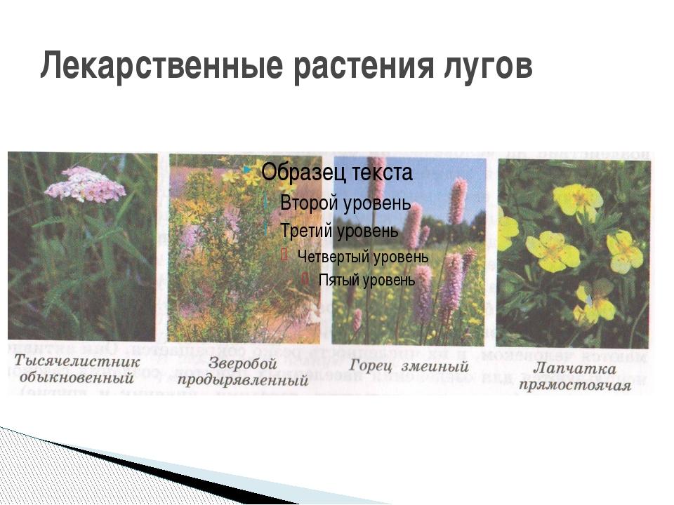 Лекарственные растения лугов