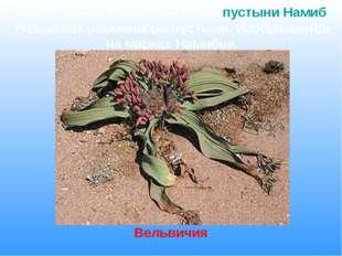 Самое удивительное растение пустыни Намиб. Называют осьминогом пустыни. Изобр