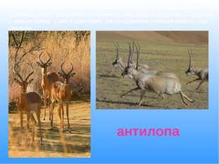 И так, как называется рогатое животное , у которого ноги длинные и стройные,