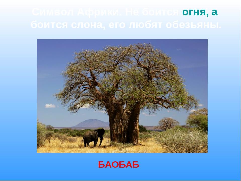 Символ Африки. Не боится огня, а боится слона, его любят обезьяны. БАОБАБ