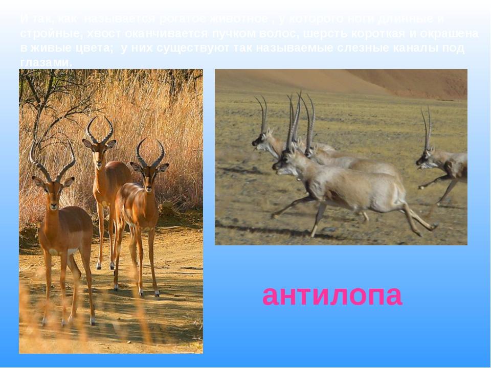 И так, как называется рогатое животное , у которого ноги длинные и стройные,...