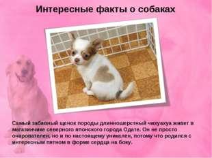 Интересные факты о собаках Самый забавный щенок породы длинношерстный чихуаху