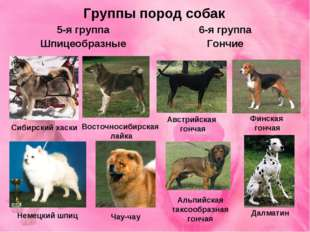 Группы пород собак 5-я группа Шпицеобразные 6-я группа Гончие Восточносибирск