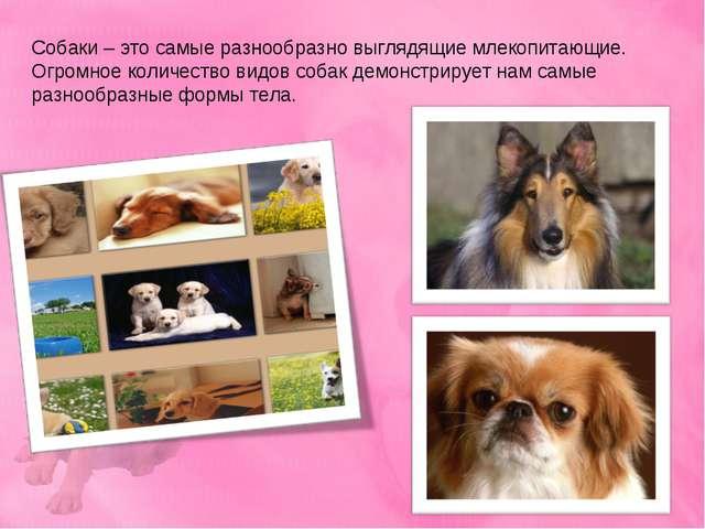 Собаки – это самые разнообразно выглядящие млекопитающие. Огромное количество...