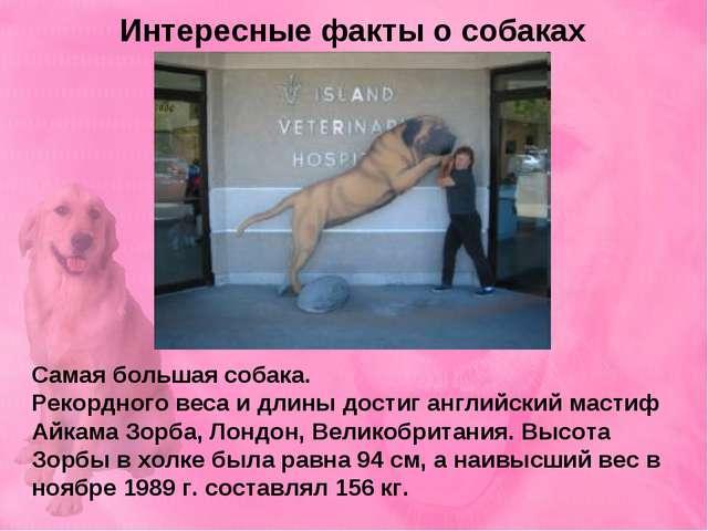 Интересные факты о собаках Самая большая собака. Рекордного веса и длины дост...
