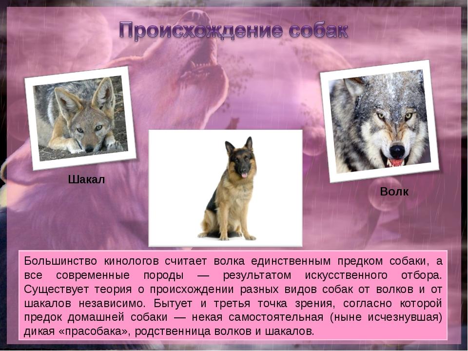 Большинство кинологов считает волка единственным предком собаки, а все соврем...