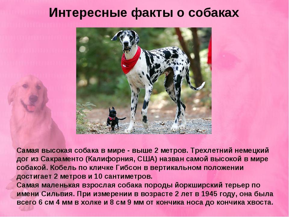 Интересные факты о собаках Самая высокая собака в мире - выше 2 метров. Трехл...