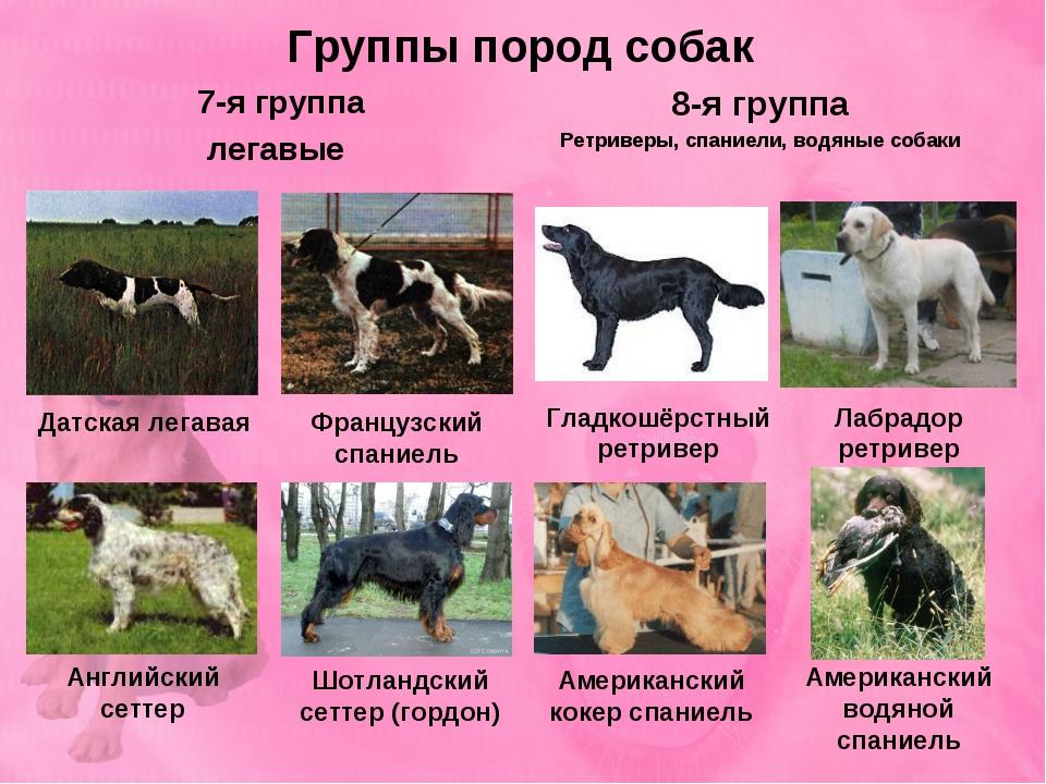 Группы пород собак 7-я группа легавые 8-я группа Ретриверы, спаниели, водяные...