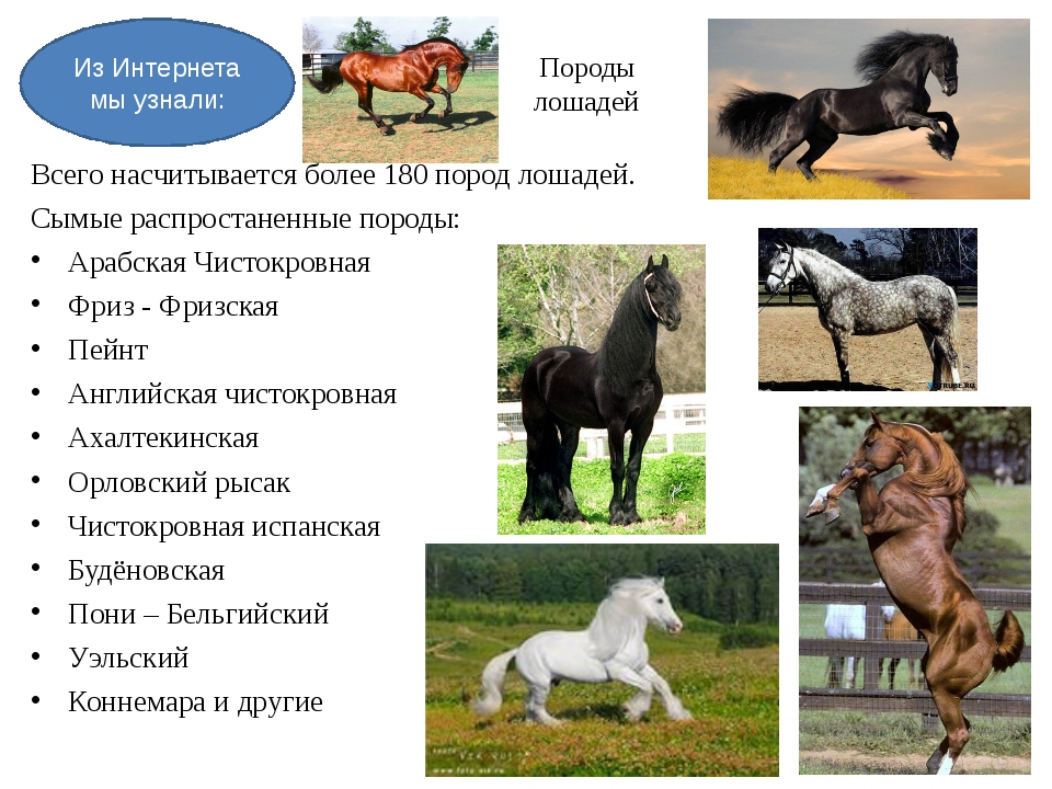 Породы лошадей Всего насчитывается более 180 пород лошадей. Сымые распростане...