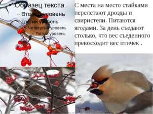 С места на место стайками перелетают дрозды и свиристели. Питаются ягодами. З