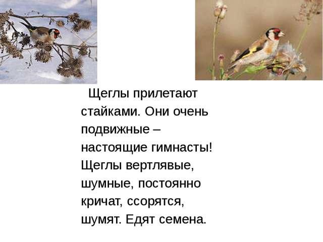Щеглы прилетают стайками. Они очень подвижные – настоящие гимнасты! Щеглы ве...