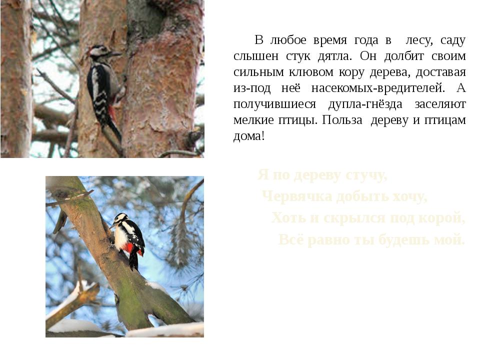 В любое время года в лесу, саду слышен стук дятла. Он долбит своим сильным к...