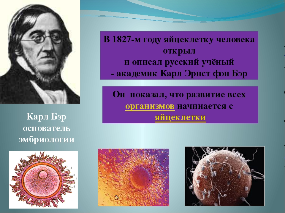 Карл Бэр основатель эмбриологии Он показал, что развитие всех организмов начи...