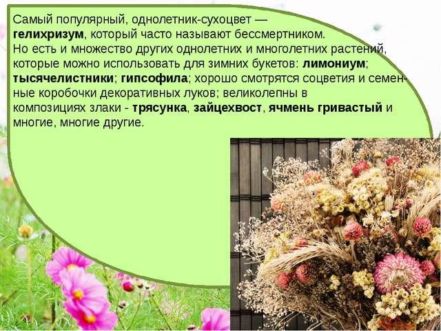 Самый популярный, однолетник-сухоцвет — гелихризум, который часто называют б...