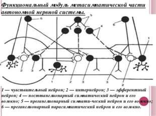Функциональный модуль метасимпатической части автономной нервной системы. 1 —
