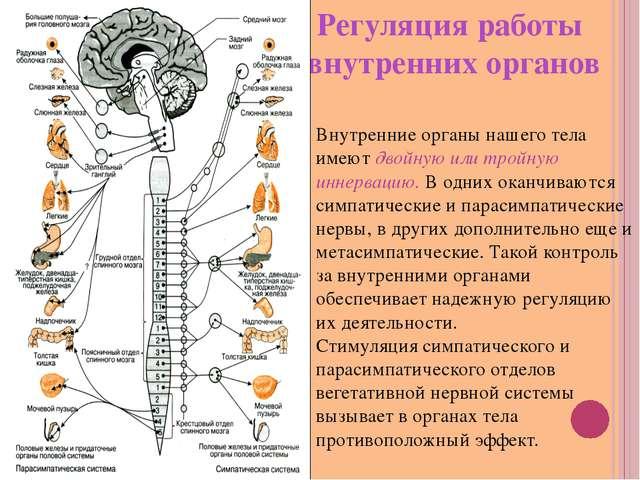 Регуляция работы внутренних органов Внутренние органы нашего тела имеют двойн...