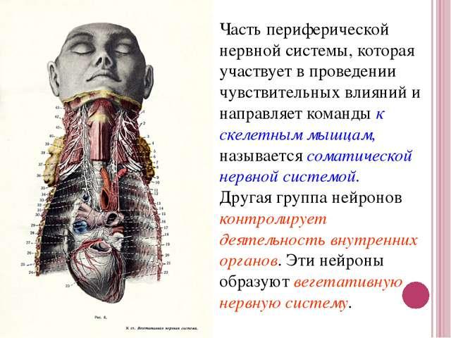 Часть периферической нервной системы, которая участвует в проведении чувствит...