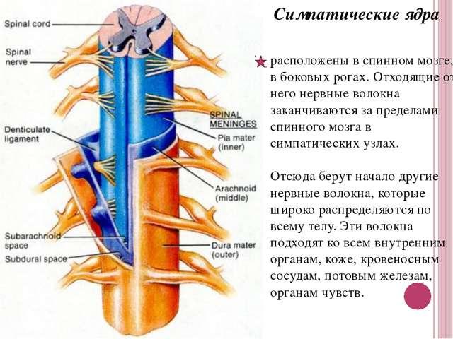 Симпатические ядра расположены в спинном мозге, в боковых рогах. Отходящие от...